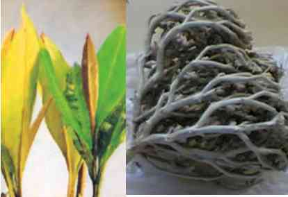 4 Cara Mengkonsumsi Rumput Fatimah yang Baik & Benar